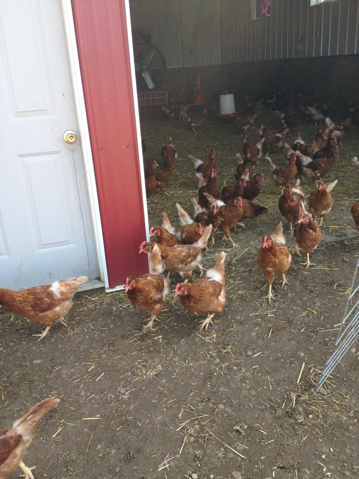 chickens2
